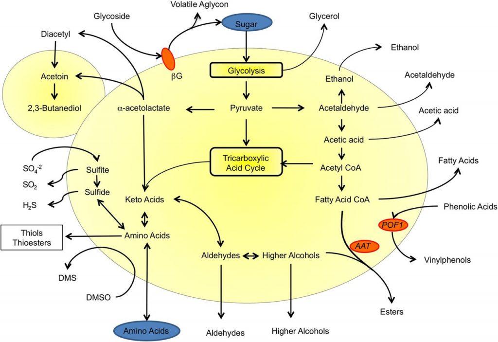Metabolismo del lievito